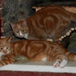 Image Of Two Ginger Tabby Cats