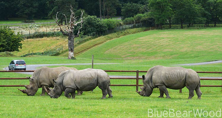 Rhino's at Longleat Safari Park