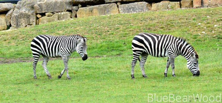 Zebra at Longleat Safari
