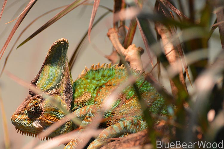 crested-chameleon-at-longleat