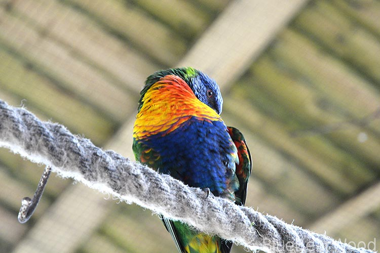 Rainbow Lorikeet At Longleat