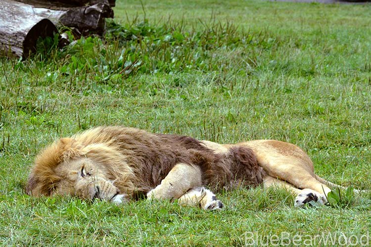 Sleeping male lion at longleaf