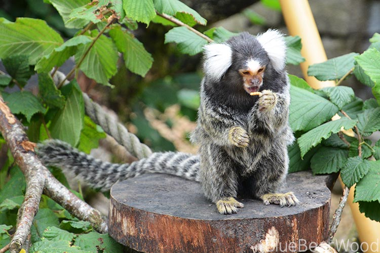 marmoset monkey at Longleat